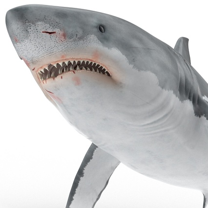 3d model of Great White Shark Rigged