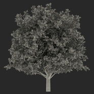 White Oak Tree Summer. Preview 22