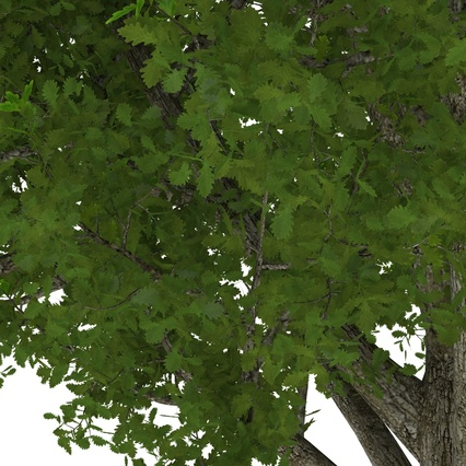 White Oak Tree Summer. Render 14
