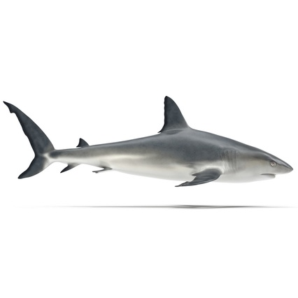 Caribbean Reef Shark. Render 19