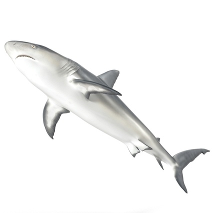 Caribbean Reef Shark. Render 16
