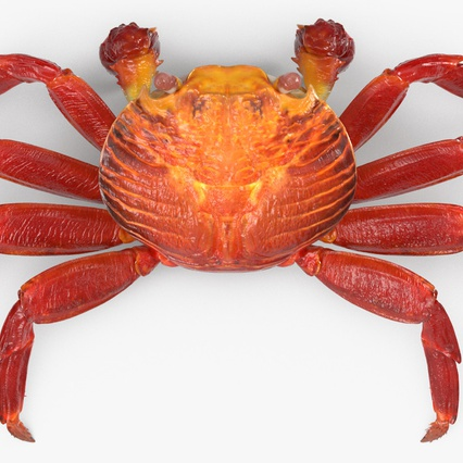 Red Rock Crab Rigged for Maya. Render 11