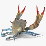 Blue Crab Fight Pose