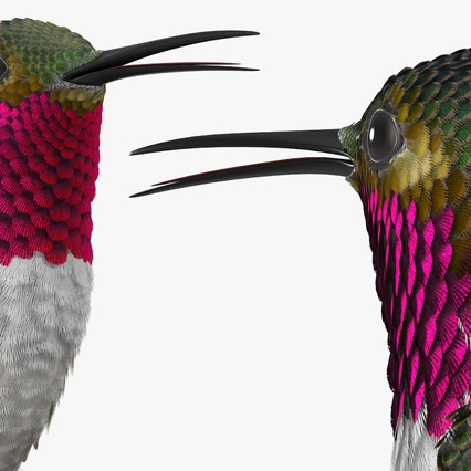 Broad Tailed Hummingbird Sitting on Branch. Render 8