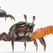 Fiddler Crab Fighting Pose with Fur. Preview 8