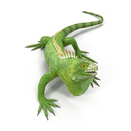 Green Iguana Rigged for Cinema 4D. Preview 5