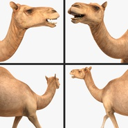 Camel Rigged for Cinema 4D. Preview 18
