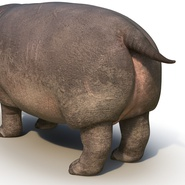 Hippopotamus Rigged for Cinema 4D. Preview 18