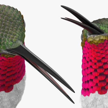 Broad Tailed Hummingbird Sitting on Branch. Render 12