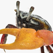 Fiddler Crab Standing Pose with Fur. Preview 9