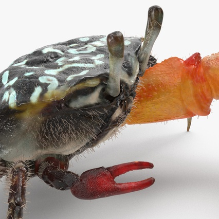 Fiddler Crab with Fur. Render 11