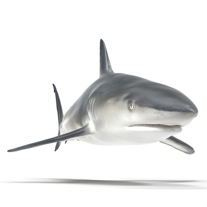 Caribbean Reef Shark. Render 23