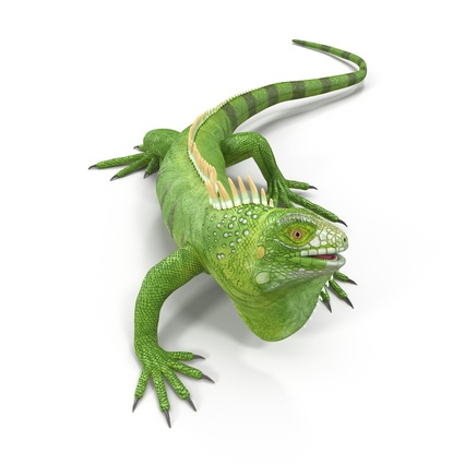 Green Iguana Rigged for Cinema 4D. Render 5