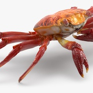Red Rock Crab Rigged for Maya. Preview 14