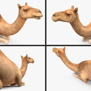 Camel Rigged for Cinema 4D. Preview 17