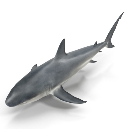 Caribbean Reef Shark. Render 5