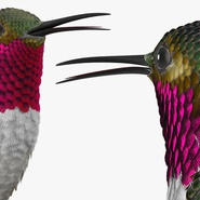 Broad Tailed Hummingbird Sitting on Branch. Preview 8