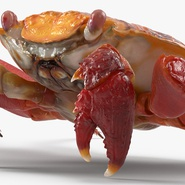 Red Rock Crab Rigged for Maya. Preview 19
