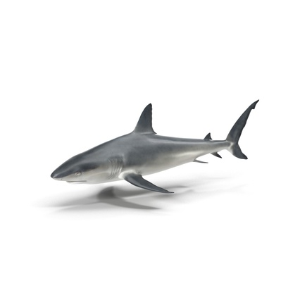 Caribbean Reef Shark. Render 3