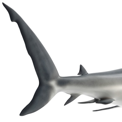 Caribbean Reef Shark. Render 31