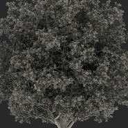 White Oak Tree Summer. Preview 29