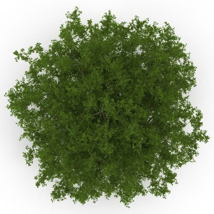 White Oak Tree Summer. Render 9