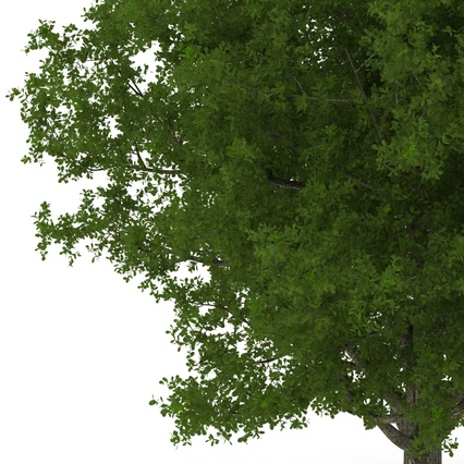 White Oak Tree Summer. Render 12