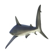 Dusky Shark Rigged for Maya. Preview 13