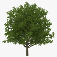 White Oak Tree Summer. Preview 1