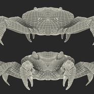 Red Rock Crab Rigged for Maya. Preview 30
