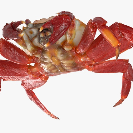 Red Rock Crab Rigged for Maya. Render 17