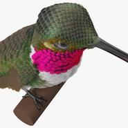 Broad Tailed Hummingbird Sitting on Branch. Preview 13