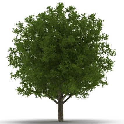 White Oak Tree Summer. Render 5