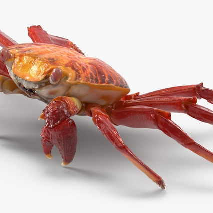 Red Rock Crab Rigged for Maya. Render 7