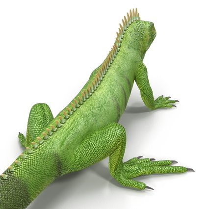 Green Iguana Rigged for Cinema 4D. Render 20