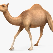 Camel Rigged for Cinema 4D. Preview 5