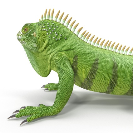 Green Iguana Rigged for Cinema 4D. Render 22