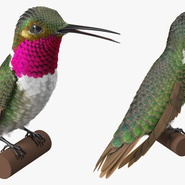 Broad Tailed Hummingbird Sitting on Branch. Preview 6