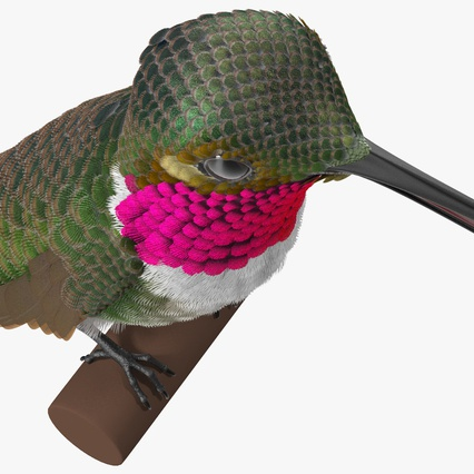 Broad Tailed Hummingbird Sitting on Branch. Render 13
