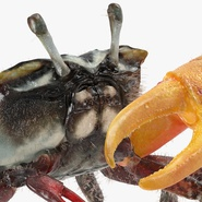 Fiddler Crab Standing Pose with Fur. Preview 7