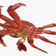 Red Rock Crab Rigged for Maya. Preview 18