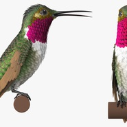 Broad Tailed Hummingbird Sitting on Branch. Preview 5