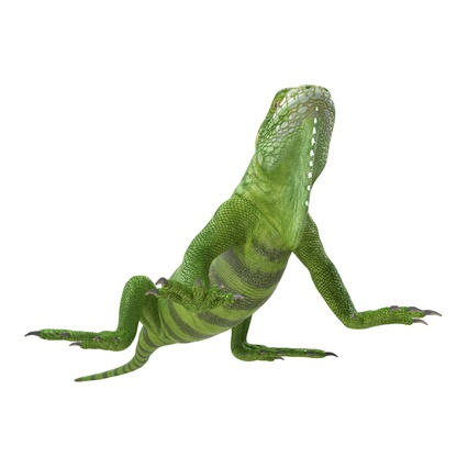 Green Iguana Rigged for Cinema 4D. Render 15