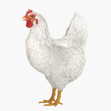 White Chicken. Render 3