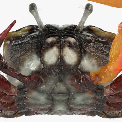 Fiddler Crab with Fur. Render 13