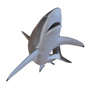 Dusky Shark Rigged for Maya. Preview 16