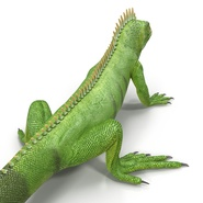Green Iguana Rigged for Cinema 4D. Preview 20