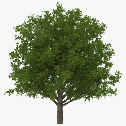 White Oak Tree Summer. Render 1