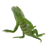 Green Iguana Rigged for Cinema 4D. Preview 16