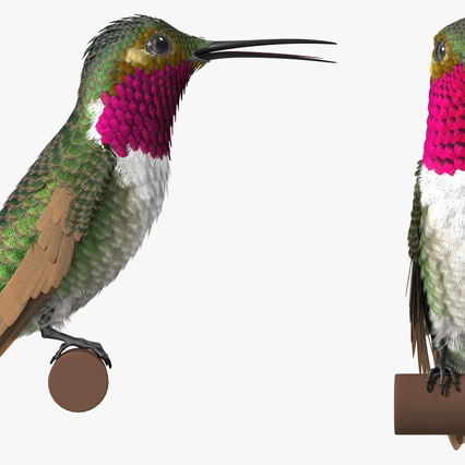 Broad Tailed Hummingbird Sitting on Branch. Render 5